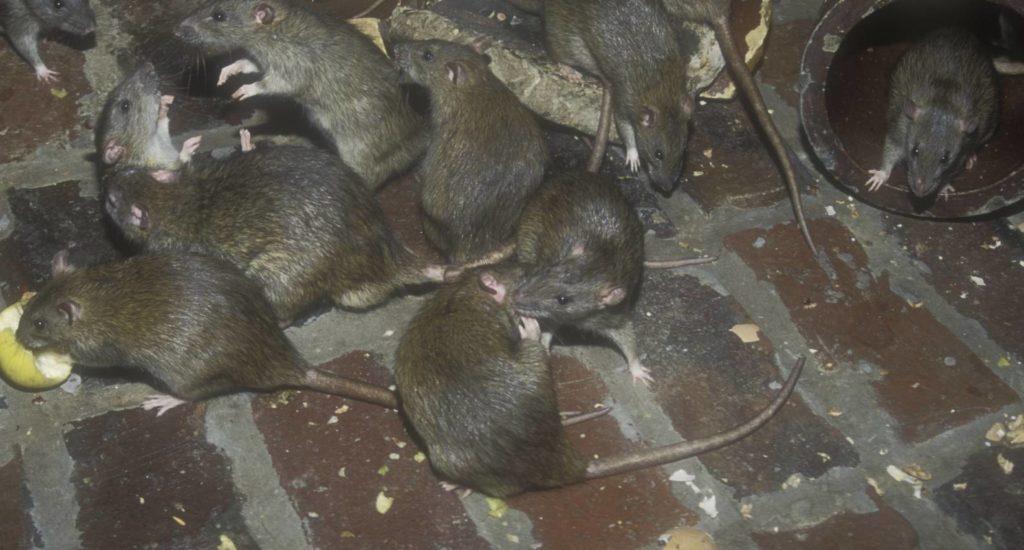 уничтожение крыс в Соликамске